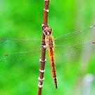Dragon Fly by DDIsland