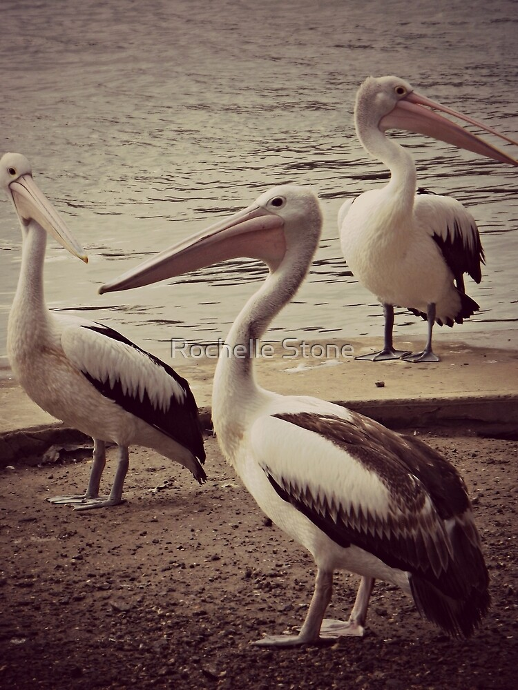 Three Wise Pelicans by Rochelle Stone