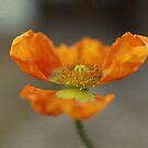 Poppy-2 by jujubean