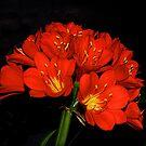 Flower Show -- Clivias #1 by johnrf