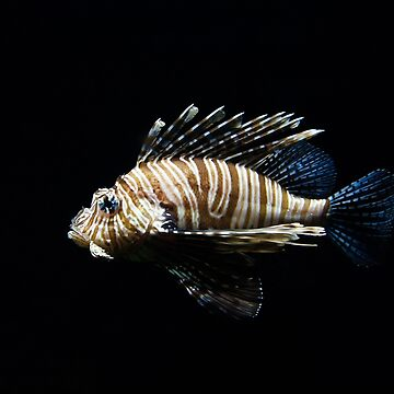 Lion fish by NaCl01