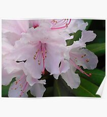 Pretty Pink And White Rhodendrum Flowers Poster