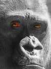I`m Looking at You !!  - Silverback Male Gorilla  by Colin  Williams Photography