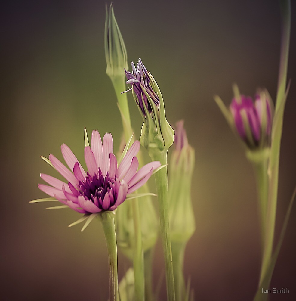 Meadow flower by Ian Smith