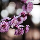 Plum blossoms by Areej Obeid