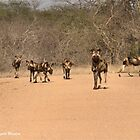 A RARE SIGHT, A WHOLE PACK - Lycaon pictus – WILD DOG – [ ENDANGERED SPECIES] by Magriet Meintjes