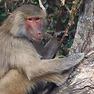 Baboon by Eve Parry