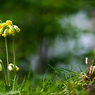 Cowslips by Hugster62