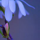 Magnolia Bud by DIANE  FIFIELD