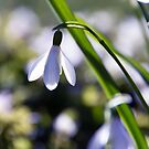 Snowdrop: Spring is here! by Kasia-D