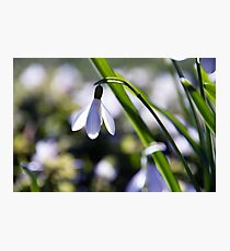 Snowdrop: Spring is here! Photographic Print
