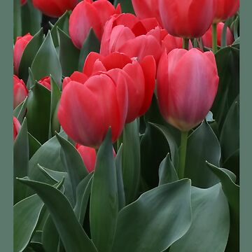 Beautiful Pink Tulips with Green Foliage by LazyL