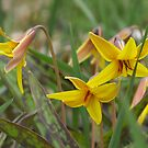 Trout Lily; Dog Tooth Violet- Erythronium americanum by Tracy Wazny
