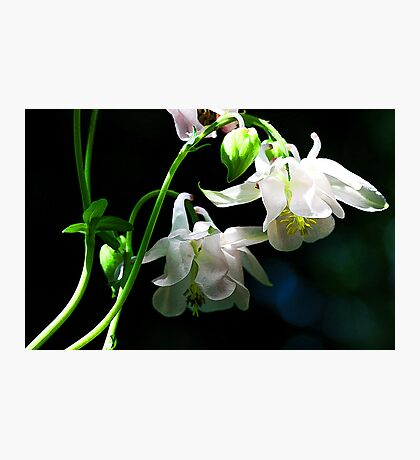 White Columbine - The Shade Garden Photographic Print