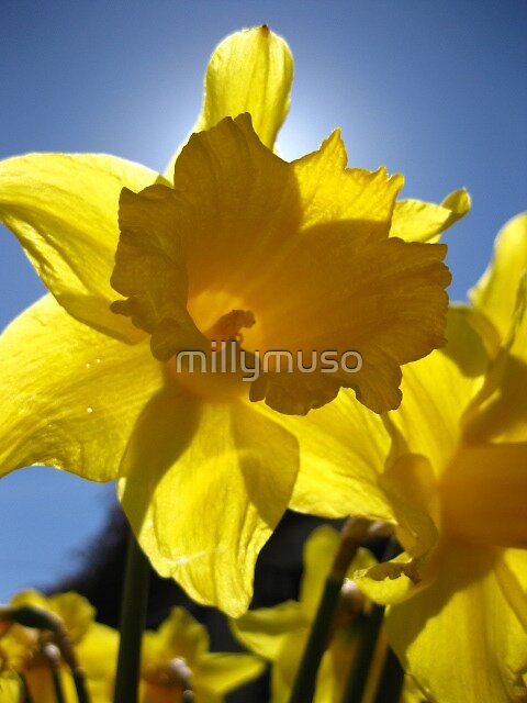 shining daffodils by millymuso