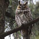 The Long-eared Owl by DigitallyStill