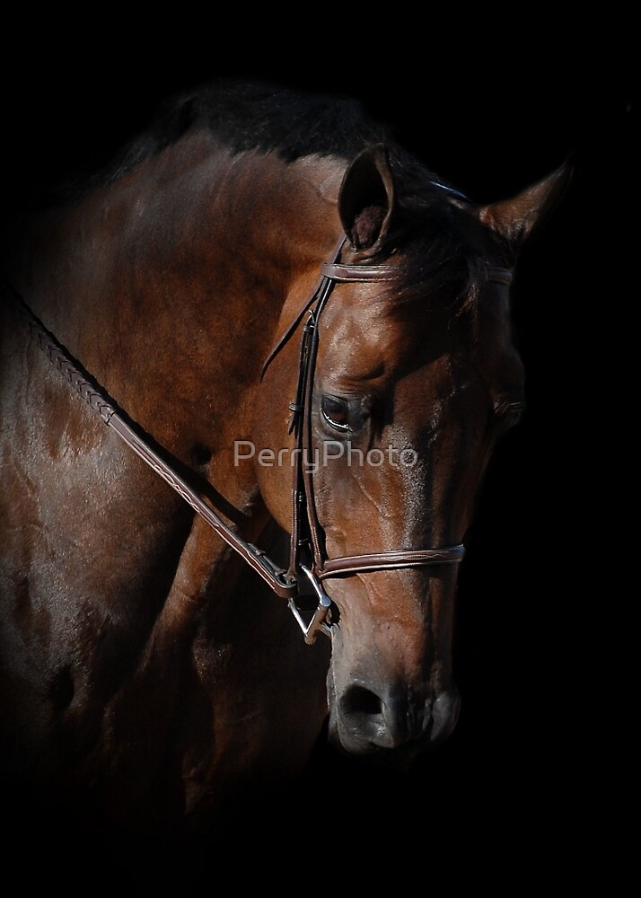 Bay horse isolated on black by PerryPhoto