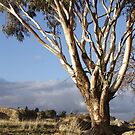 Australian Eucalyptus by johnrf