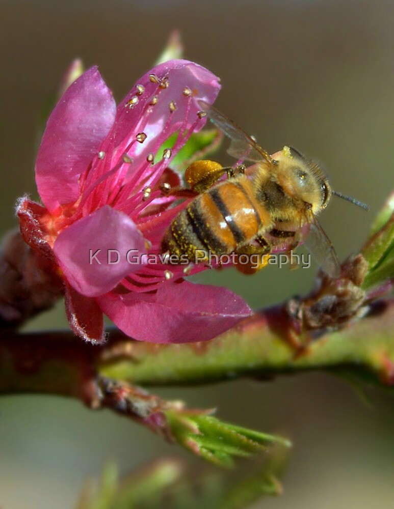 Springtime Honey Bee by K D Graves Photography