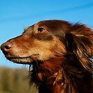 Hund - Rasehund von laura-S