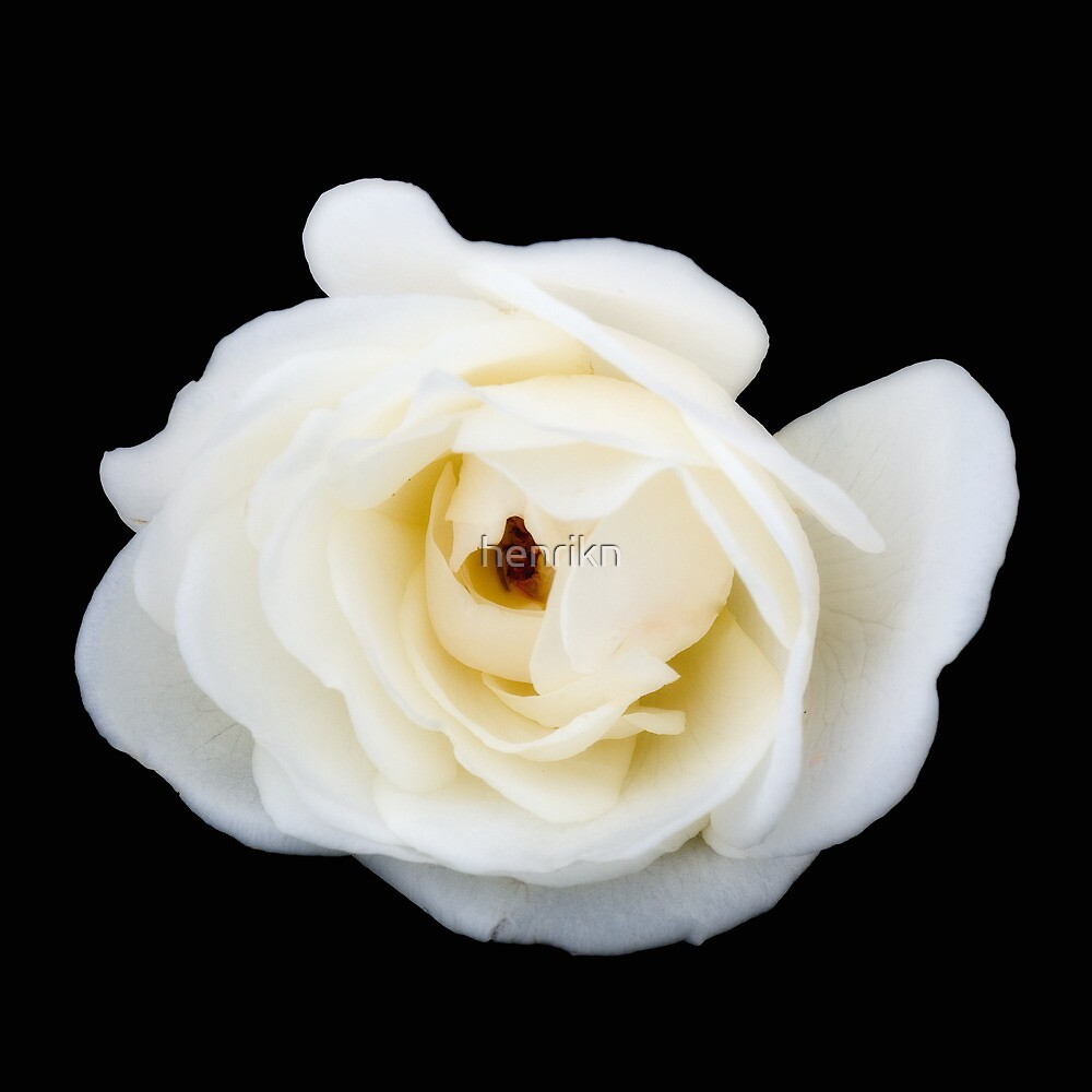 White rose. by henrikn