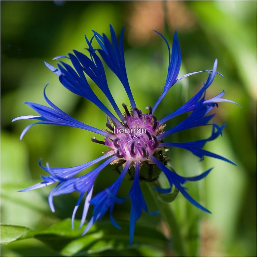 Blue flower in sunlight by henrikn