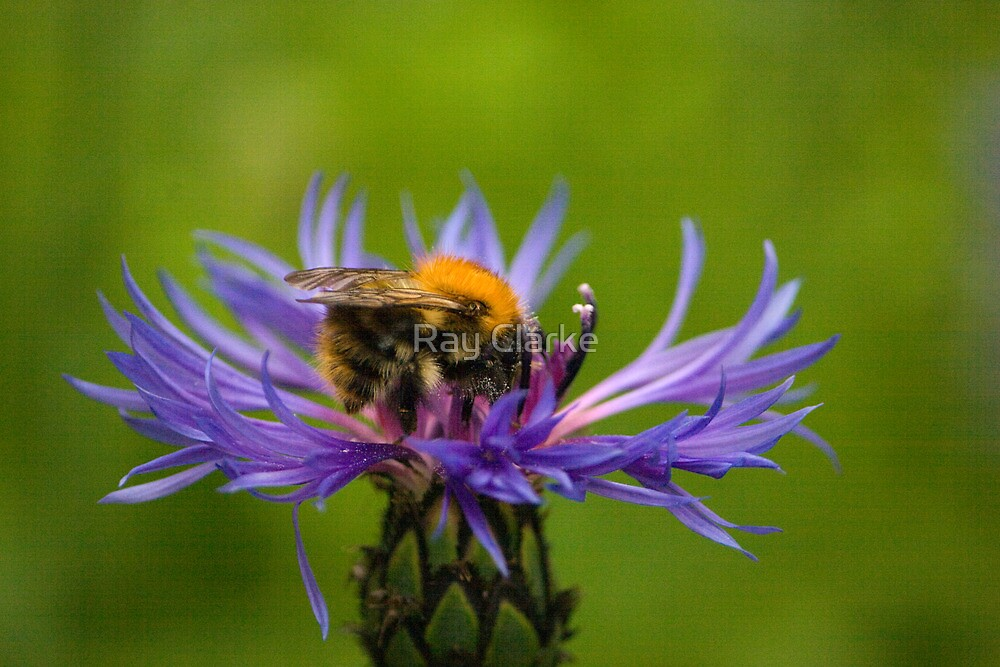 Bee on Flower by Ray Clarke