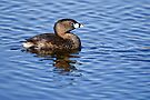 Pied Billed Grebe - Ottawa, Ontario by Michael Cummings