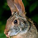 High Island Rabbit by Bonnie T.  Barry