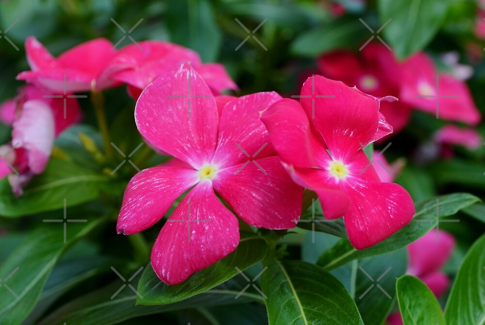 Hot Pink Periwinkle by Scott Mitchell