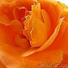 Rose Petals by Ingrid Funk
