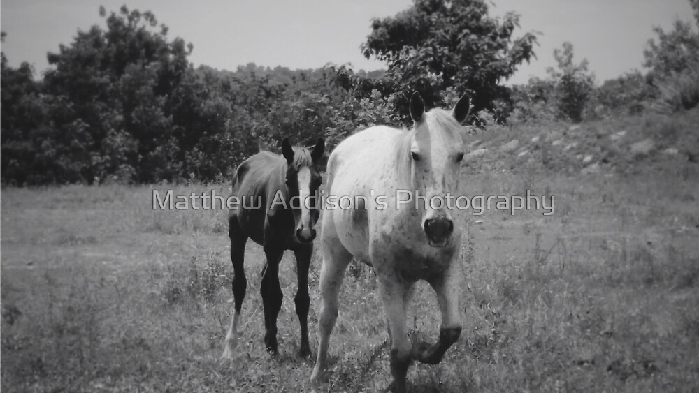 Horses In The Meadow by Matthew Addison