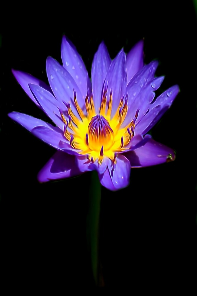 Single Water Lily against Black by photosbypamela