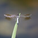 Blue Dragonfly by HellYeahKate