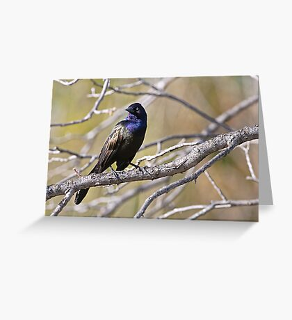 Common Grackle - Ottawa, Ontario Greeting Card
