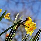 Golden Dawn Springtime Daffodil by WesternExposure
