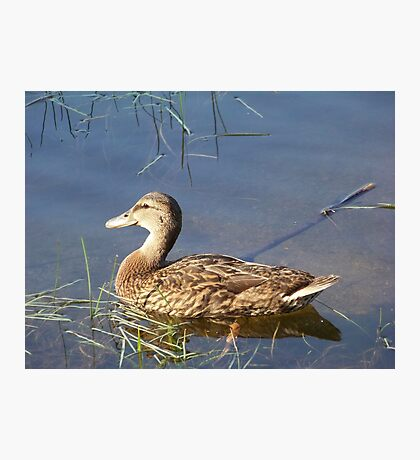 An American Black Duck in the early morning sunlight. Photographic Print