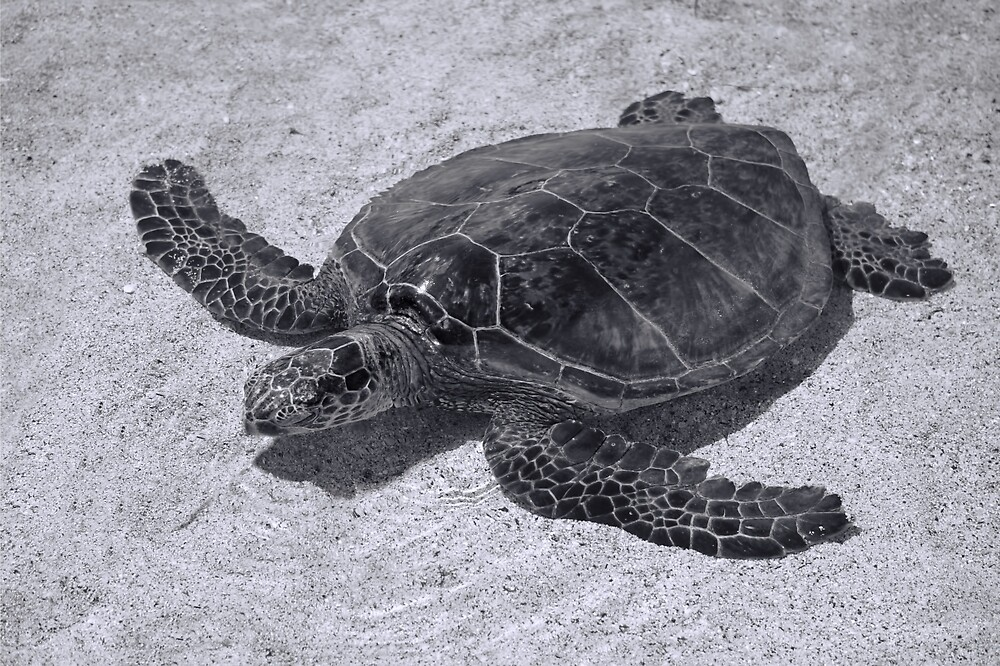 Black and White Turtle by photosbypamela