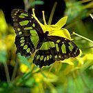 Malachite Butterfly  by K D Graves Photography