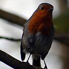 Curious Robin by Niamh Harmon