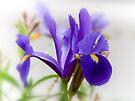 Iris by Elaine  Manley