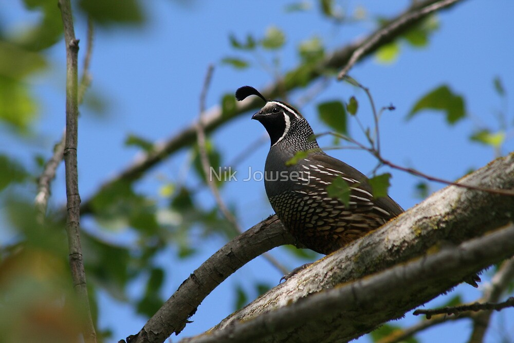 Quail spotted by Nik Jowsey