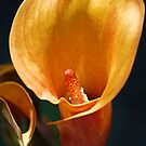 Calla Lilly by oliver9523