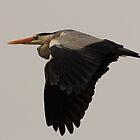 Grey Heron by Daniel Rosselló