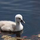 Mute Swan (cygnet) by D R Moore