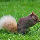 Brown Squirrel by AnnDixon