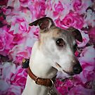 Whippet by Peggy Colclough