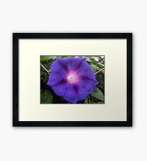 Morning Glory flower Framed Print