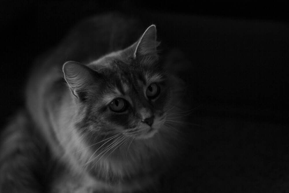 The Intense Gaze of a Nebelung by Patrick Thompson