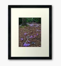 Fallen crocus path Framed Print